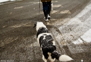 a dog covered with snow crossing the road on a crosswalk
